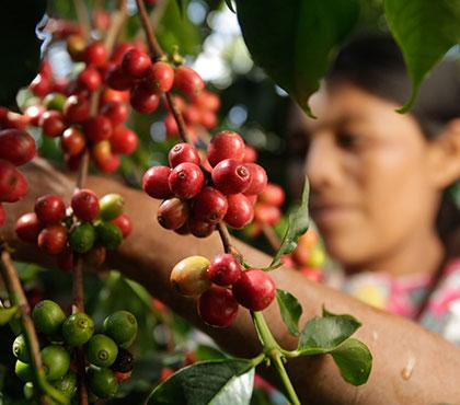 Coffee-tour-tour-de-cafe-finca-filadelfia-resort-coffee-plantation-antigua-guatemala-around-antigua-guatemala-guatemala-city-v2