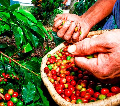 Coffee-tour-tour-de-cafe-finca-filadelfia-resort-coffee-plantation-antigua-guatemala-around-antigua-guatemala-guatemala-city-v7