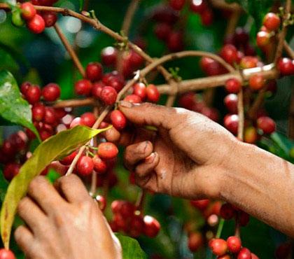 Coffee-tour-tour-de-cafe-finca-filadelfia-resort-coffee-plantation-antigua-guatemala-around-antigua-guatemala-guatemala-city